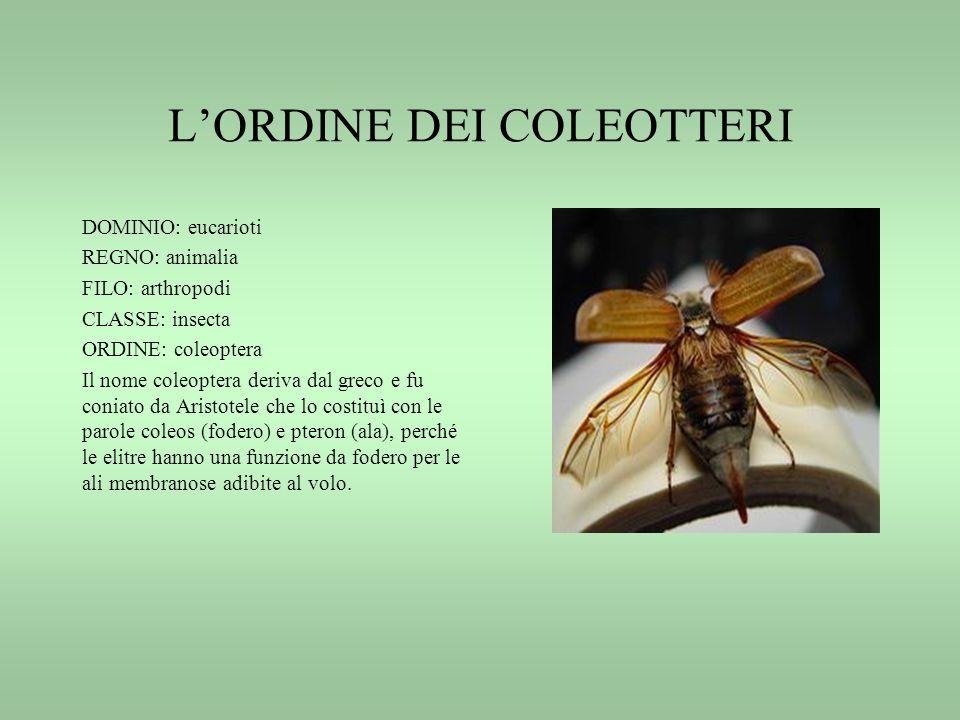 LORDINE DEI COLEOTTERI DOMINIO: eucarioti REGNO: animalia FILO: arthropodi CLASSE: insecta ORDINE: coleoptera Il nome coleoptera deriva dal greco e fu