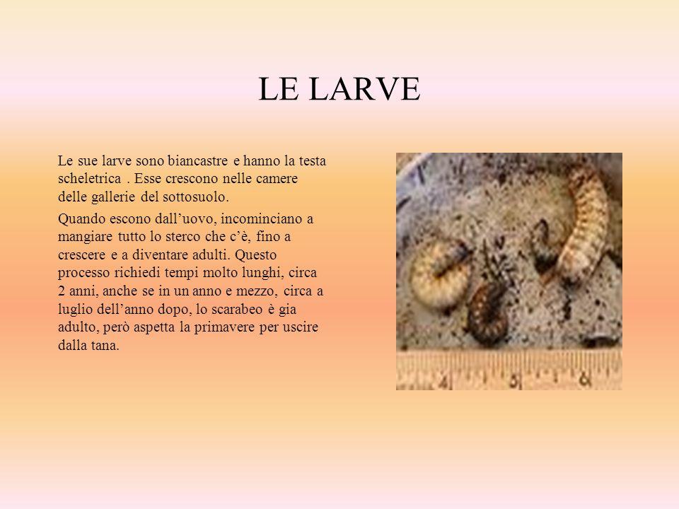 LE LARVE Le sue larve sono biancastre e hanno la testa scheletrica. Esse crescono nelle camere delle gallerie del sottosuolo. Quando escono dalluovo,