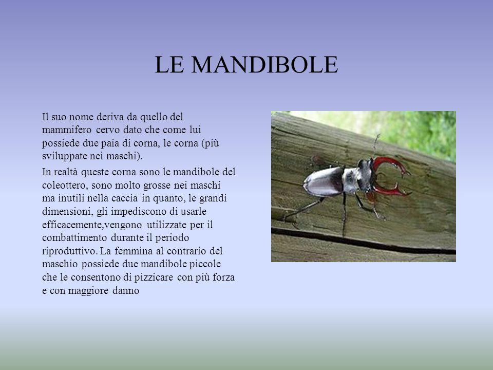 LE MANDIBOLE Il suo nome deriva da quello del mammifero cervo dato che come lui possiede due paia di corna, le corna (più sviluppate nei maschi). In r