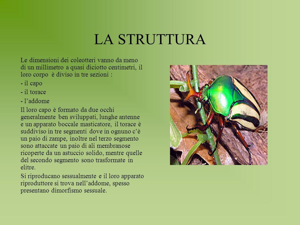 LA STRUTTURA Le dimensioni dei coleotteri vanno da meno di un millimetro a quasi diciotto centimetri, il loro corpo è diviso in tre sezioni : - il cap