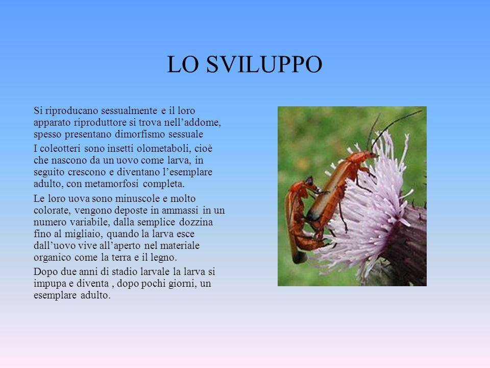LO SVILUPPO Si riproducano sessualmente e il loro apparato riproduttore si trova nelladdome, spesso presentano dimorfismo sessuale I coleotteri sono i