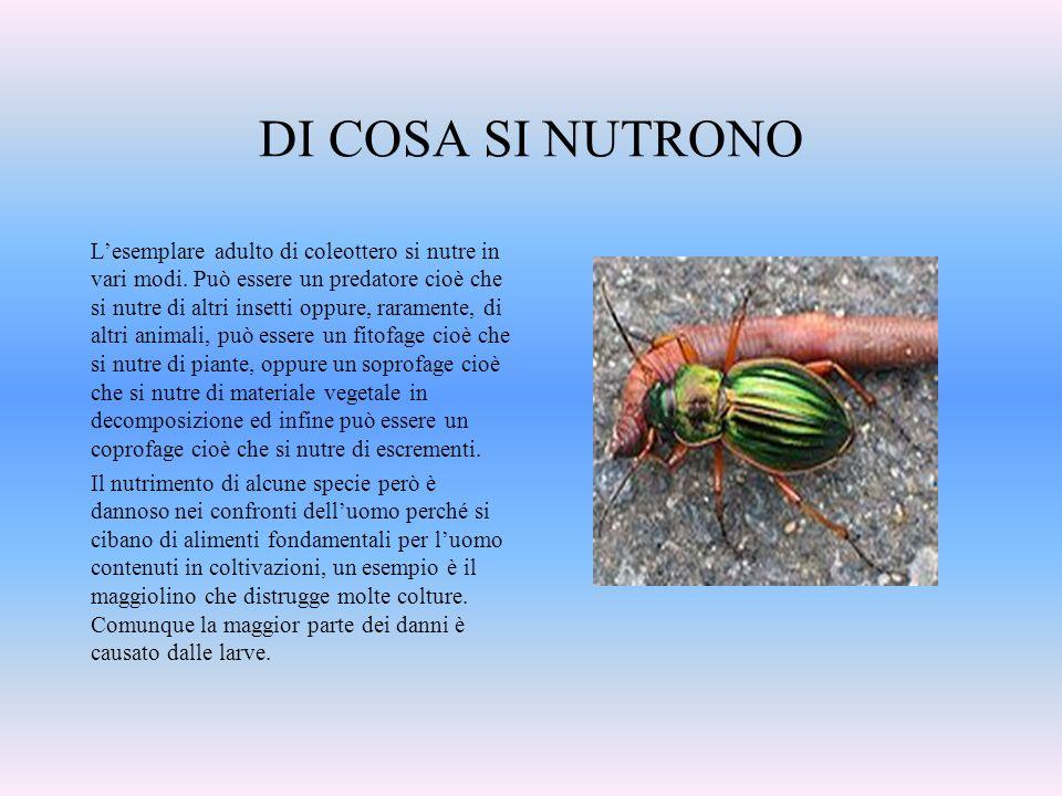 DI COSA SI NUTRONO Lesemplare adulto di coleottero si nutre in vari modi. Può essere un predatore cioè che si nutre di altri insetti oppure, raramente