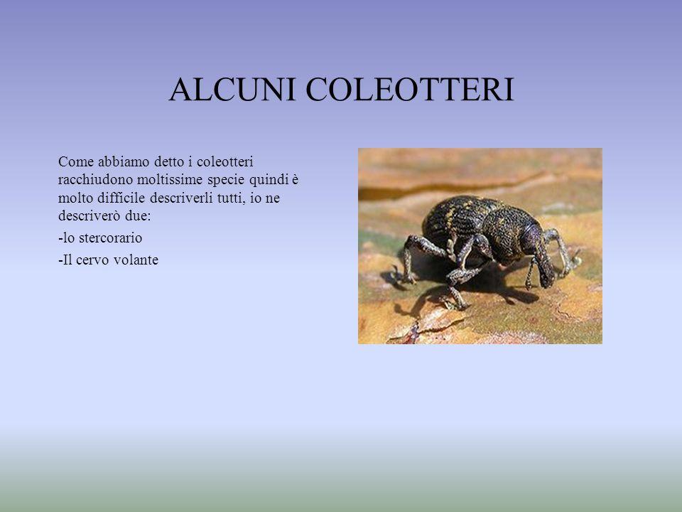 ALCUNI COLEOTTERI Come abbiamo detto i coleotteri racchiudono moltissime specie quindi è molto difficile descriverli tutti, io ne descriverò due: -lo