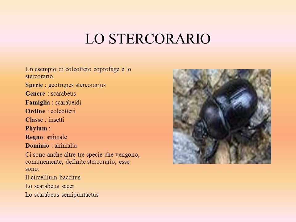 LO STERCORARIO Un esempio di coleottero coprofage è lo stercorario. Specie : geotrupes stercorarius Genere : scarabeus Famiglia : scarabeidi Ordine :