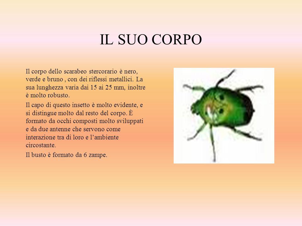 IL SUO CORPO Il corpo dello scarabeo stercorario è nero, verde e bruno, con dei riflessi metallici. La sua lunghezza varia dai 15 ai 25 mm, inoltre è