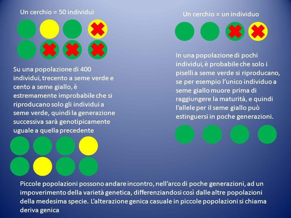 Un cerchio = 50 individui Un cerchio = un individuo Su una popolazione di 400 individui, trecento a seme verde e cento a seme giallo, è estremamente i