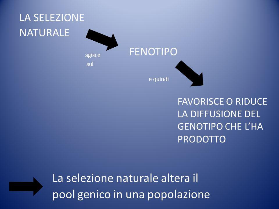 LA SELEZIONE NATURALE FENOTIPO La selezione naturale altera il pool genico in una popolazione agisce sul e quindi FAVORISCE O RIDUCE LA DIFFUSIONE DEL