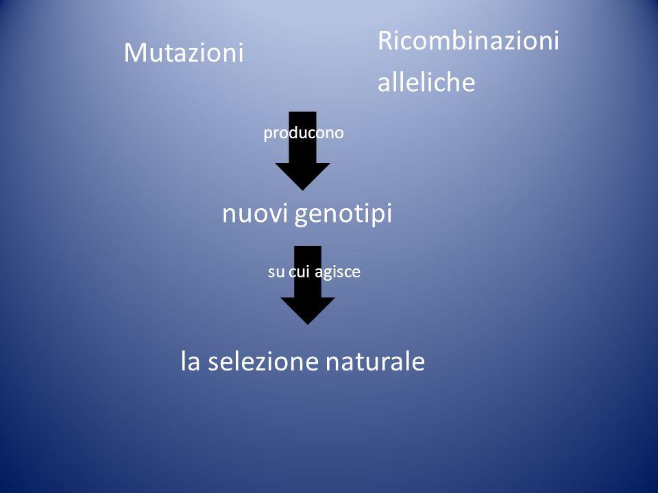Mutazioni Ricombinazioni alleliche producono nuovi genotipi su cui agisce la selezione naturale