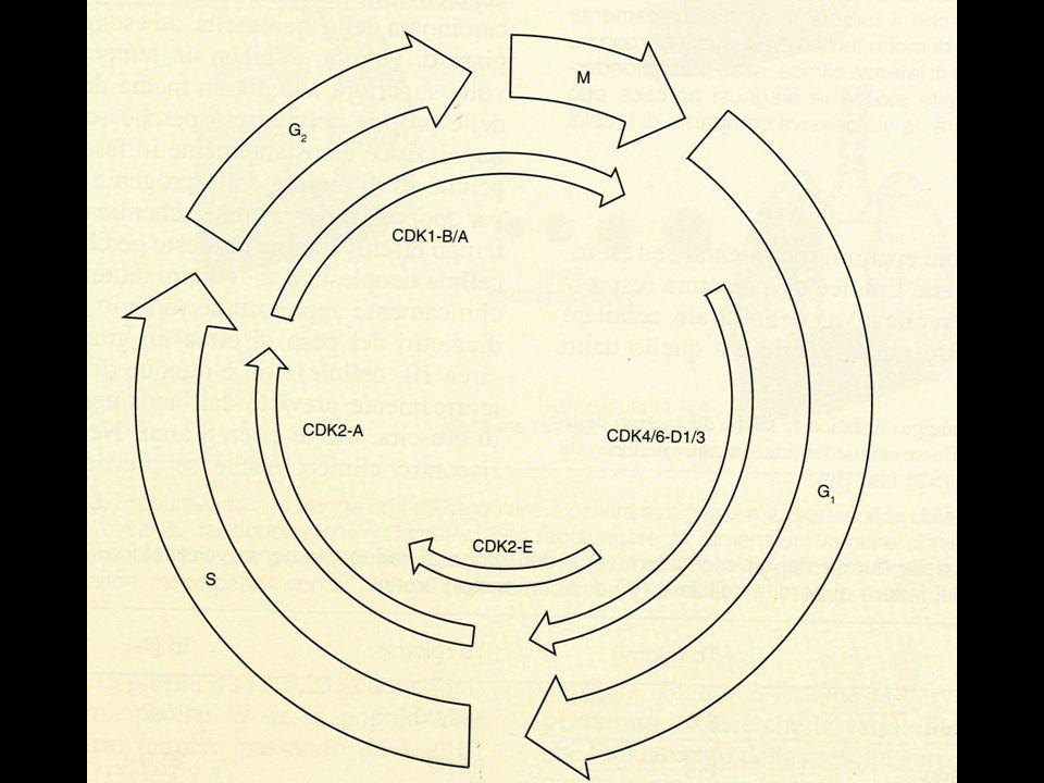 Indici di malignità Invasione vascolare Invasione della capsula Elevato indice mitotico Mitosi atipiche Necrosi Pleomorfismo cellulare
