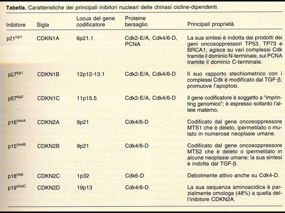 Ciclo cellulare Scomparsa TGF Fattori di crescita Scomparsa p110 rb Scomparsa soppressina