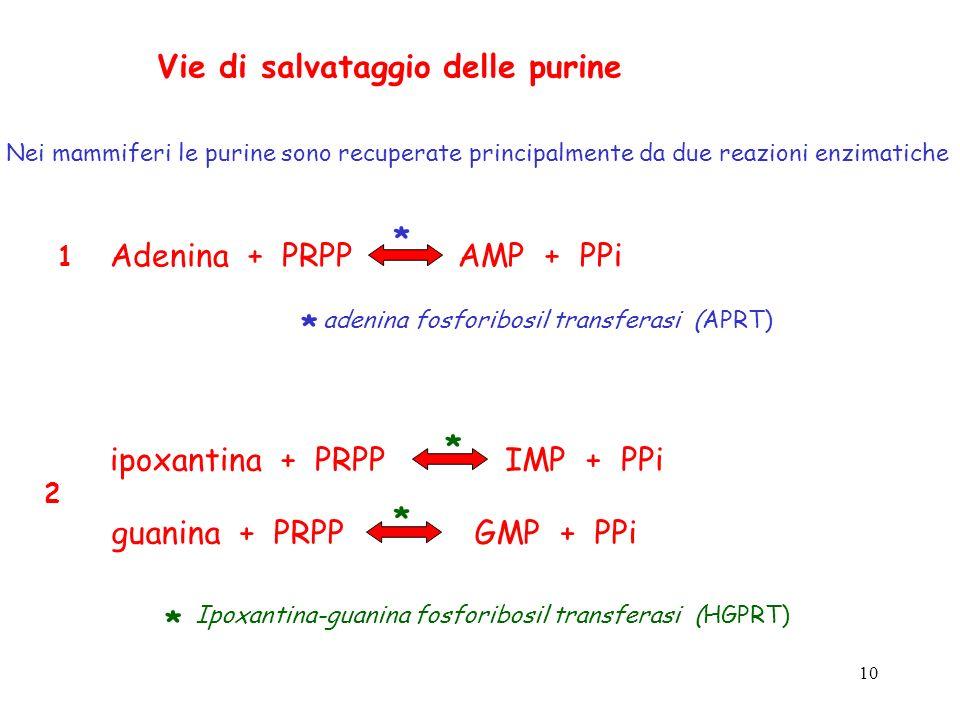 10 Vie di salvataggio delle purine Nei mammiferi le purine sono recuperate principalmente da due reazioni enzimatiche Adenina + PRPPAMP + PPi 1 adenin