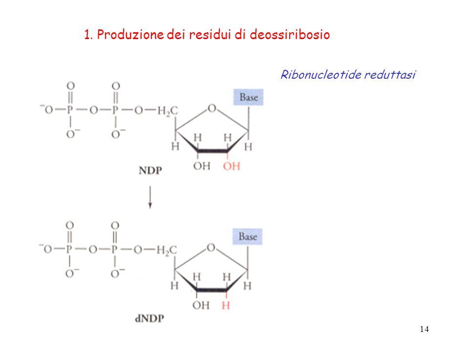14 1. Produzione dei residui di deossiribosio Ribonucleotide reduttasi