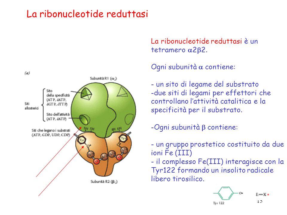 15 La ribonucleotide reduttasi è un tetramero 2 2. Ogni subunità contiene: - un sito di legame del substrato -due siti di legami per effettori che con