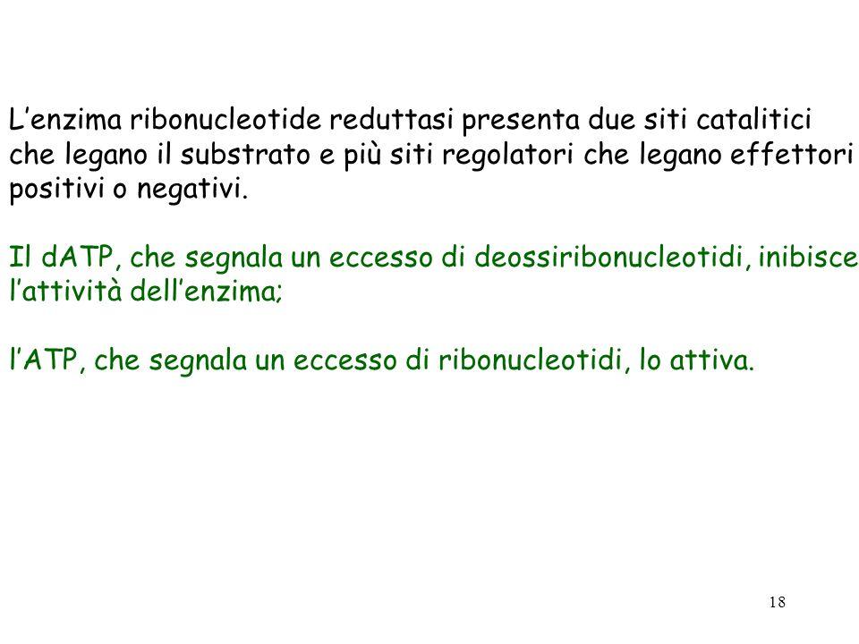 18 Lenzima ribonucleotide reduttasi presenta due siti catalitici che legano il substrato e più siti regolatori che legano effettori positivi o negativ