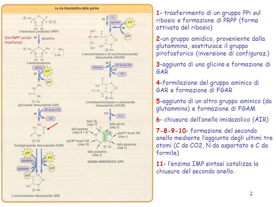 2 1- trasferimento di un gruppo PPi sul ribosio e formazione di PRPP (forma attivata del ribosio) 2-un gruppo amidico, proveniente dalla glutammina, s