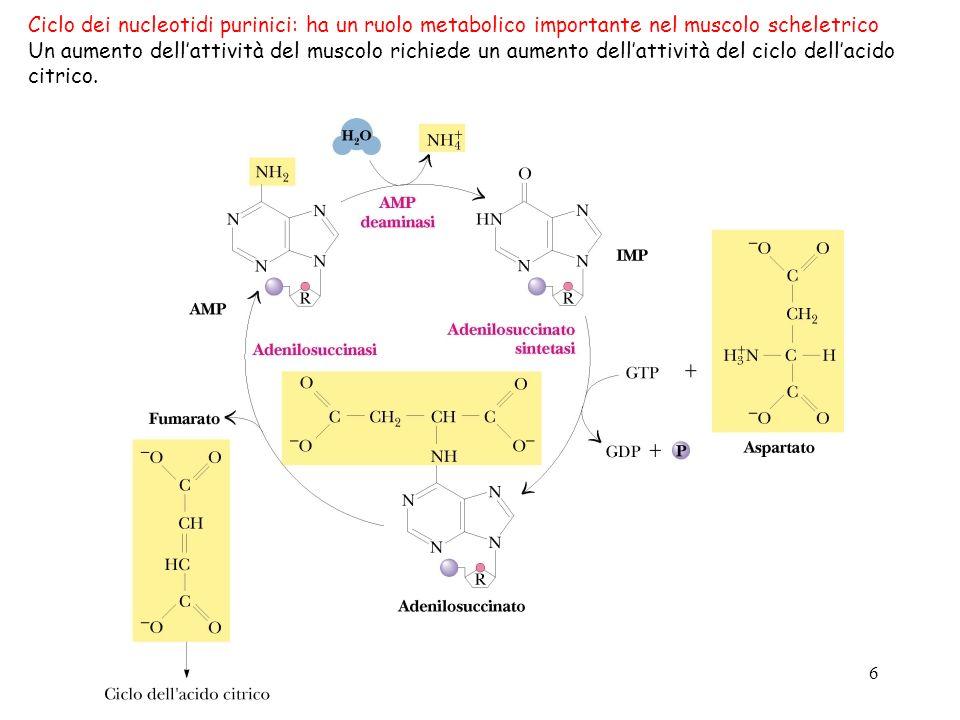 6 Ciclo dei nucleotidi purinici: ha un ruolo metabolico importante nel muscolo scheletrico Un aumento dellattività del muscolo richiede un aumento del