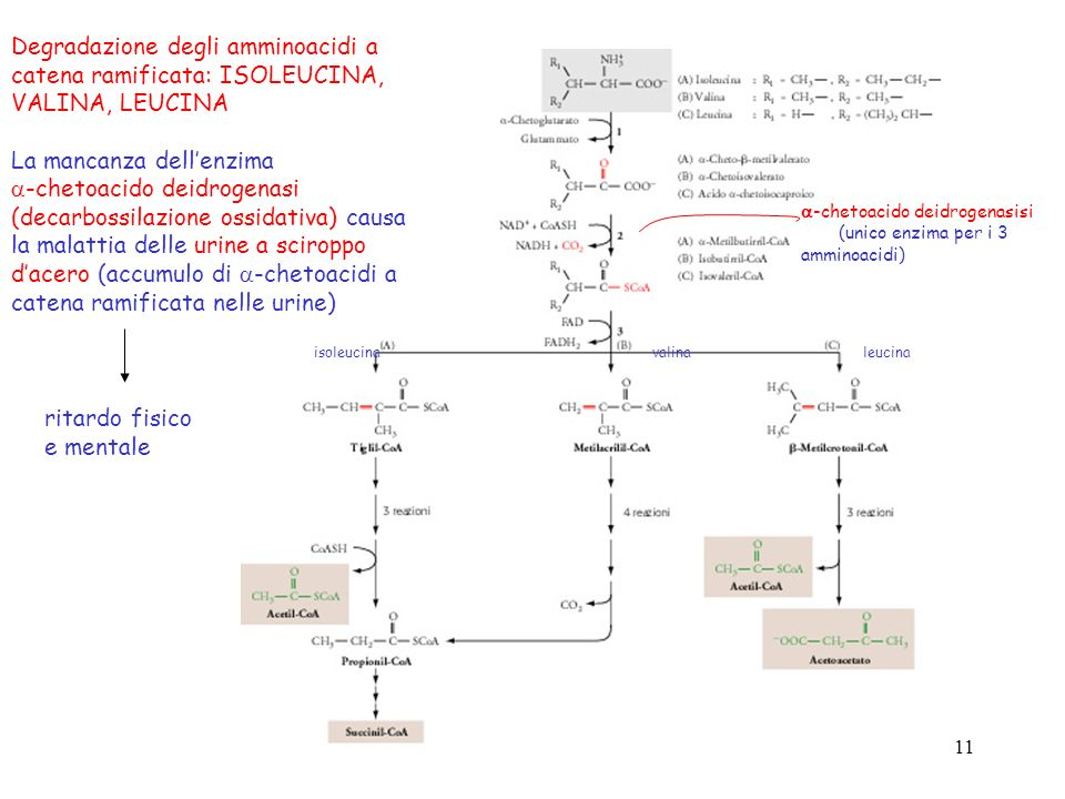11 Degradazione degli amminoacidi a catena ramificata: ISOLEUCINA, VALINA, LEUCINA La mancanza dellenzima -chetoacido deidrogenasi (decarbossilazione