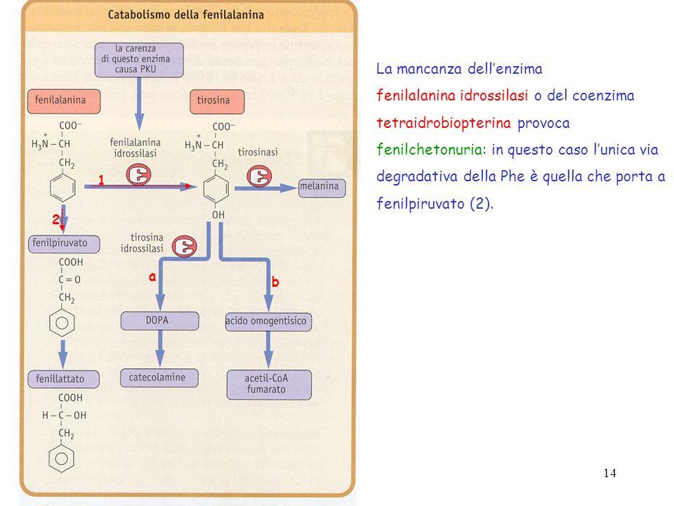 14 1 a b 2 La mancanza dellenzima fenilalanina idrossilasi o del coenzima tetraidrobiopterina provoca fenilchetonuria: in questo caso lunica via degra
