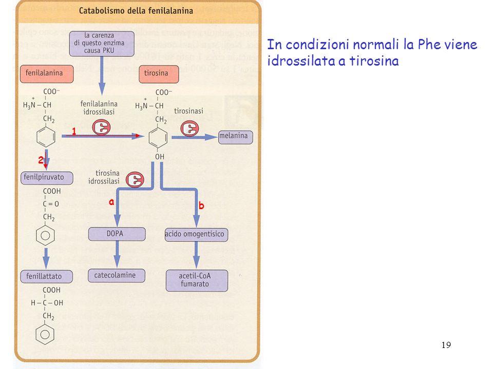 19 1 a b 2 In condizioni normali la Phe viene idrossilata a tirosina