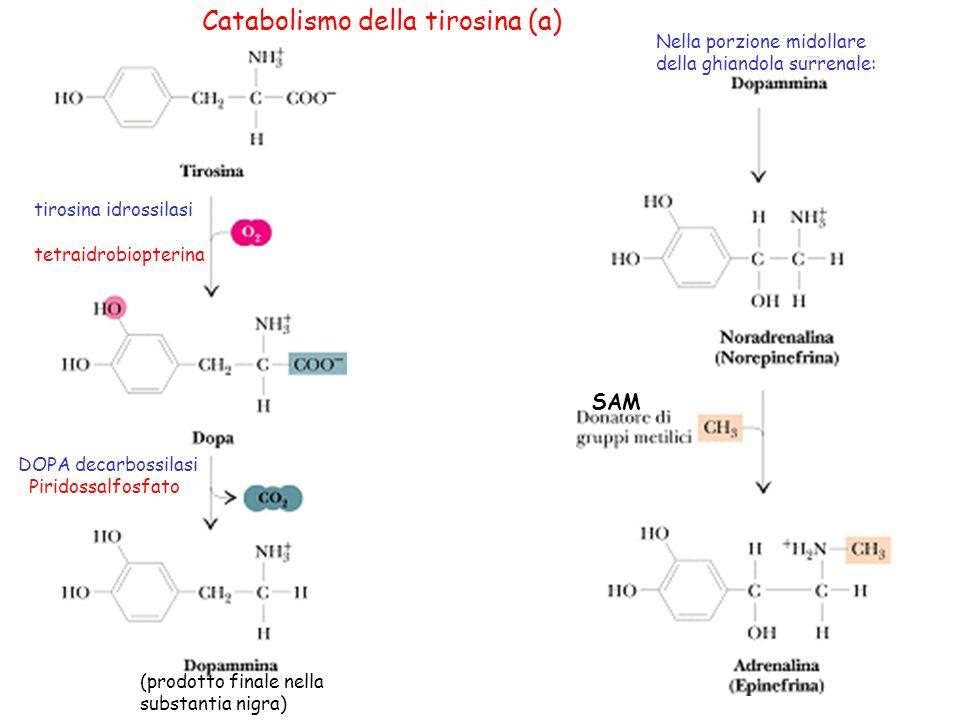 20 Catabolismo della tirosina (a) tirosina idrossilasi tetraidrobiopterina DOPA decarbossilasi Piridossalfosfato (prodotto finale nella substantia nig