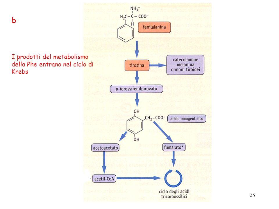 25 b I prodotti del metabolismo della Phe entrano nel ciclo di Krebs