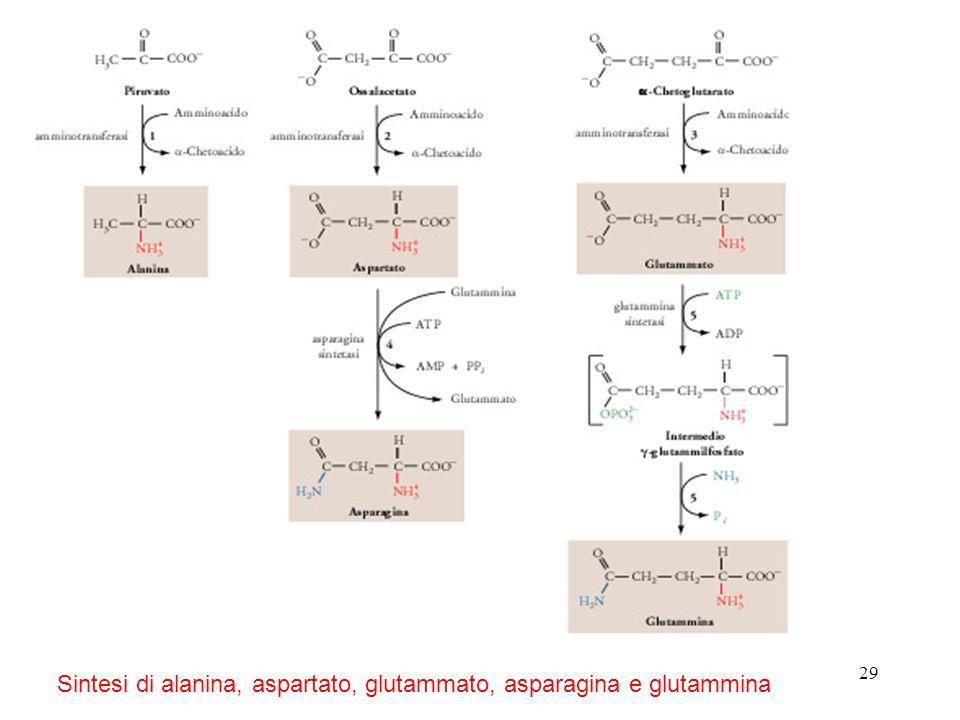 29 Sintesi di alanina, aspartato, glutammato, asparagina e glutammina