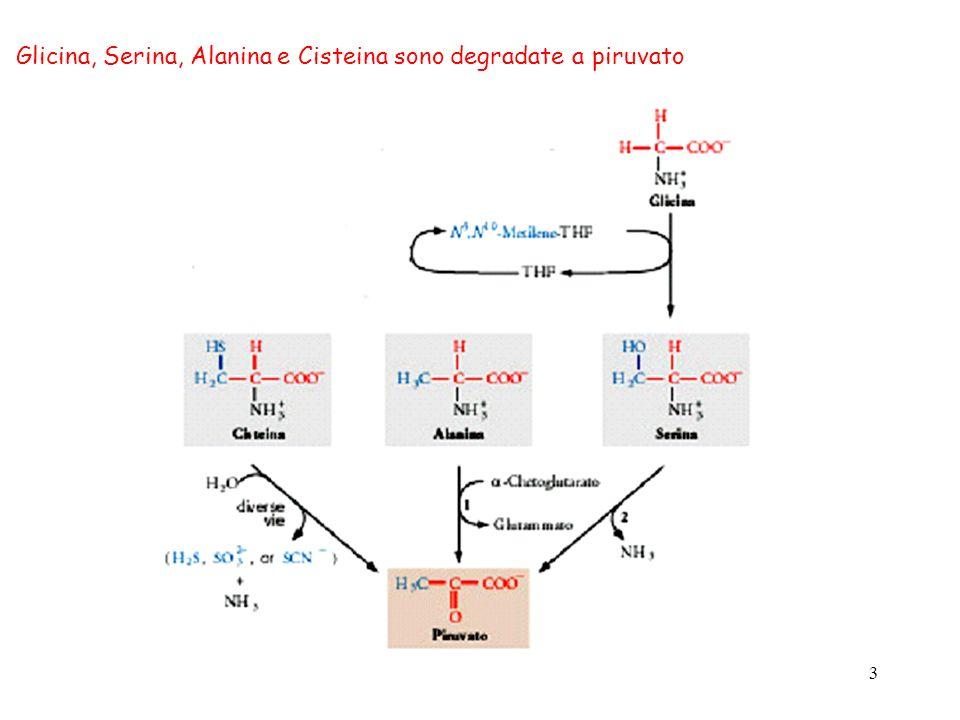 4 Il glutammato è un amminoacido glucogenico - OOC-C-CH 2 -CH 2 -C-NH 2 O NH 3 H - OOC-C-CH 2 -CH 2 -C-O - O NH 3 H - OOC-C-CH 2 -CH 2 -C-O - O O H2OH2O NH 3 NADP + NADPH + NH 3 glutammina glutammato -chetoglutarato