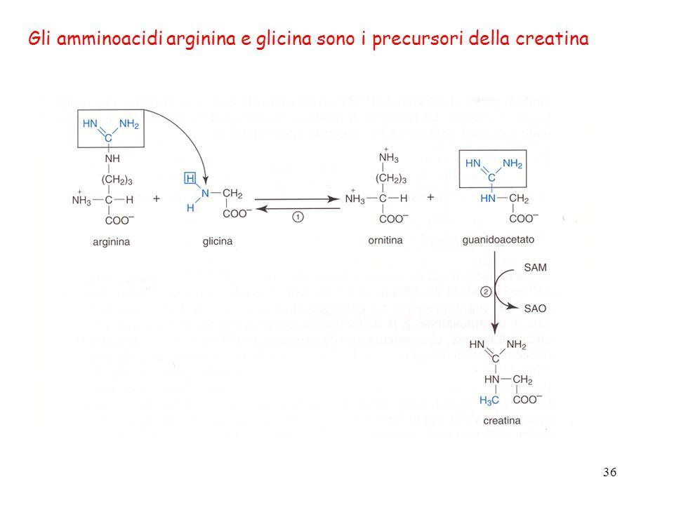 36 Gli amminoacidi arginina e glicina sono i precursori della creatina