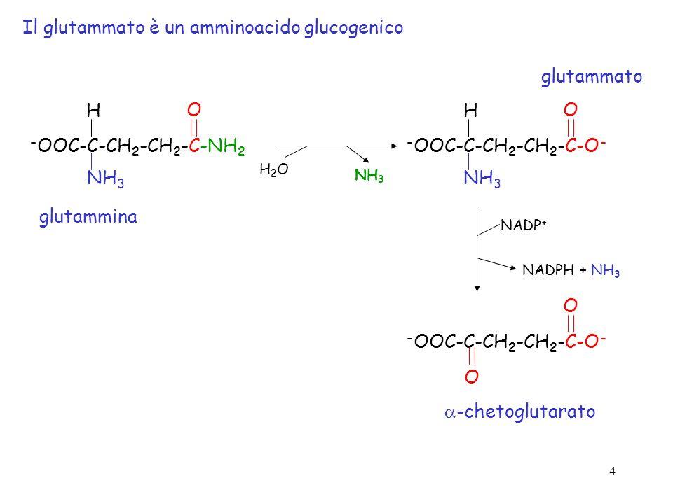 4 Il glutammato è un amminoacido glucogenico - OOC-C-CH 2 -CH 2 -C-NH 2 O NH 3 H - OOC-C-CH 2 -CH 2 -C-O - O NH 3 H - OOC-C-CH 2 -CH 2 -C-O - O O H2OH