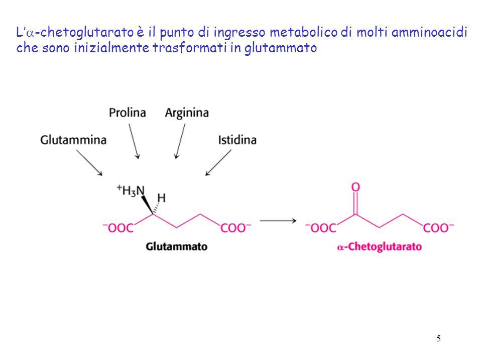 5 L -chetoglutarato è il punto di ingresso metabolico di molti amminoacidi che sono inizialmente trasformati in glutammato