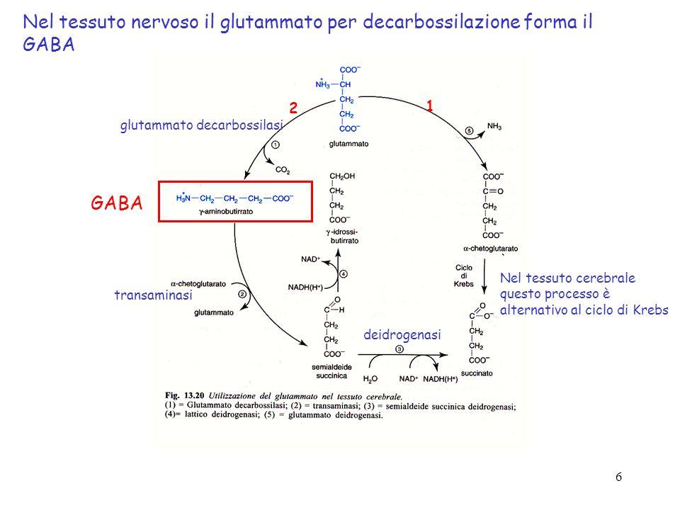 6 glutammato decarbossilasi transaminasi deidrogenasi Nel tessuto nervoso il glutammato per decarbossilazione forma il GABA 2 1 Nel tessuto cerebrale