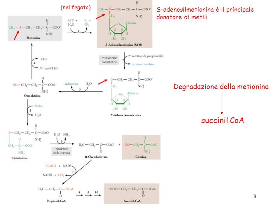 8 Degradazione della metionina S-adenosilmetionina è il principale donatore di metili (nel fegato) succinil CoA