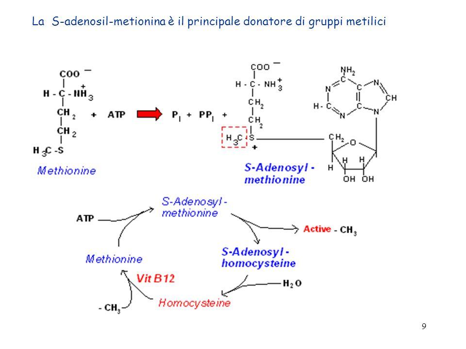 20 Catabolismo della tirosina (a) tirosina idrossilasi tetraidrobiopterina DOPA decarbossilasi Piridossalfosfato (prodotto finale nella substantia nigra) Nella porzione midollare della ghiandola surrenale: SAM