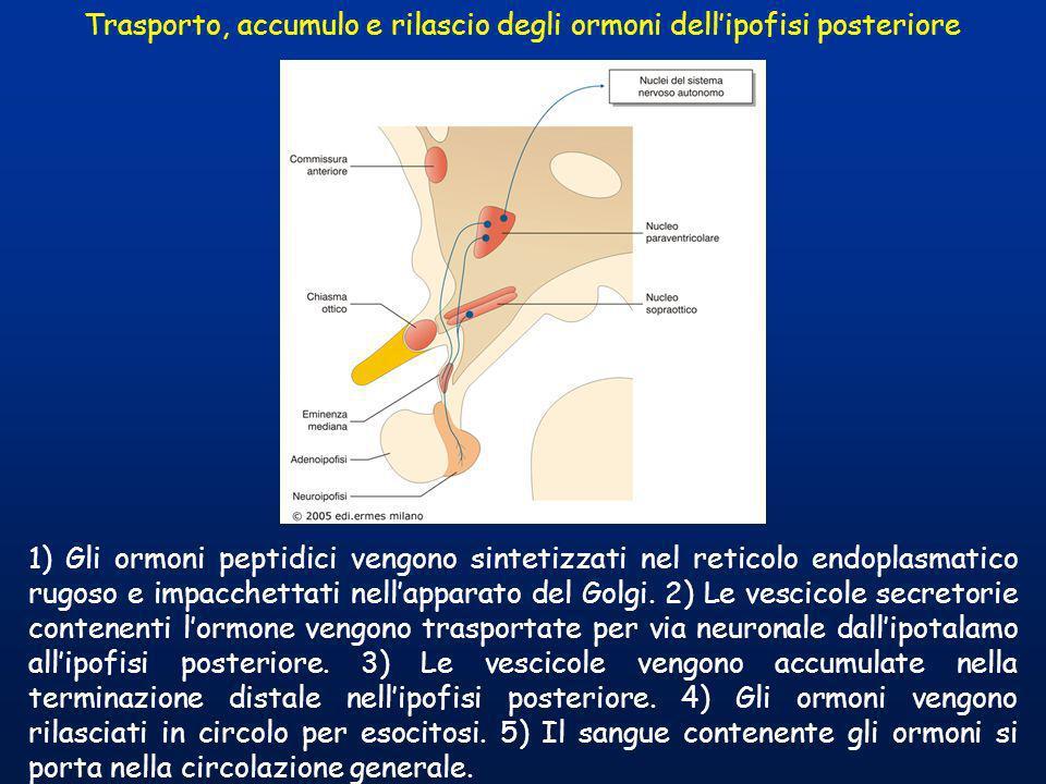 Trasporto, accumulo e rilascio degli ormoni dellipofisi posteriore 1) Gli ormoni peptidici vengono sintetizzati nel reticolo endoplasmatico rugoso e i
