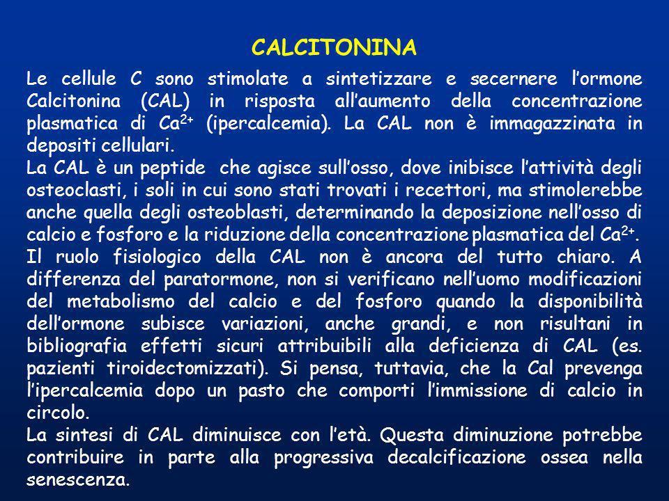 CALCITONINA Le cellule C sono stimolate a sintetizzare e secernere lormone Calcitonina (CAL) in risposta allaumento della concentrazione plasmatica di