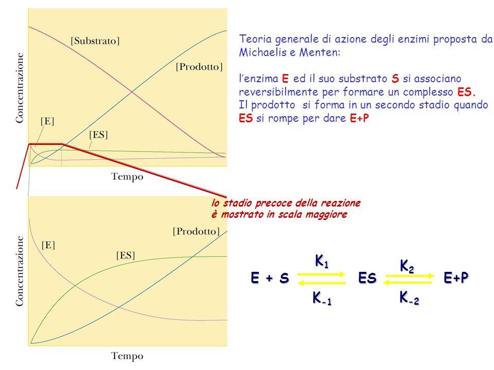 lo stadio precoce della reazione è mostrato in scala maggiore E + S K1K1K1K1 K -1 ES K2K2K2K2 E+P K -2 Teoria generale di azione degli enzimi proposta