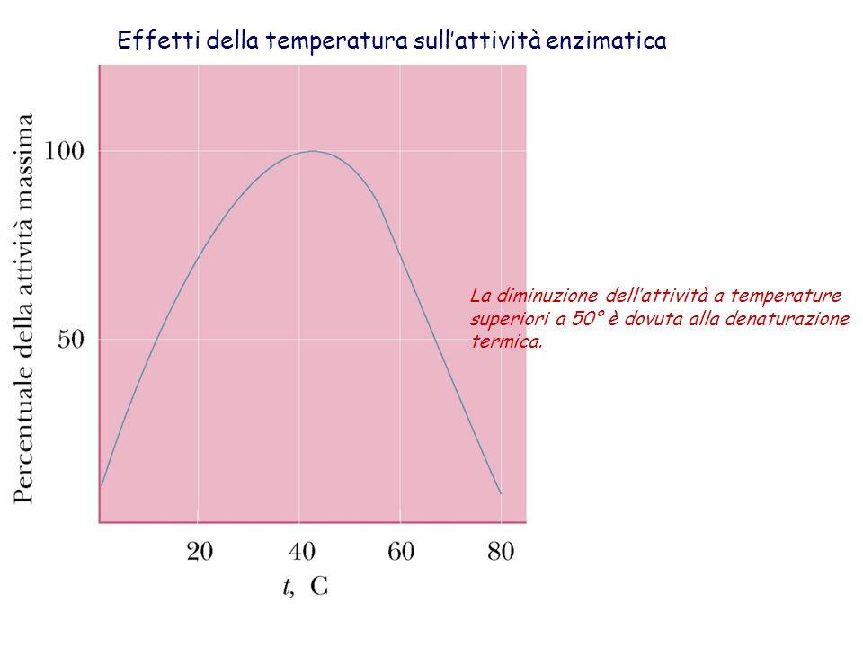 Effetti della temperatura sullattività enzimatica La diminuzione dellattività a temperature superiori a 50° è dovuta alla denaturazione termica.