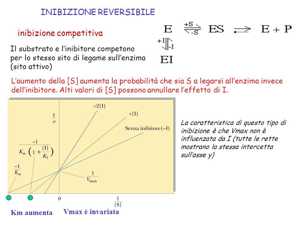 inibizione competitiva Km aumenta Il substrato e linibitore competono per lo stesso sito di legame sullenzima (sito attivo) Laumento della [S] aumenta