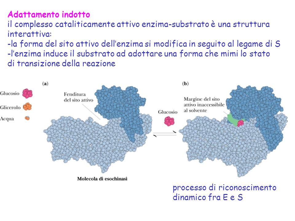 Adattamento indotto il complesso cataliticamente attivo enzima-substrato è una struttura interattiva: -la forma del sito attivo dellenzima si modifica