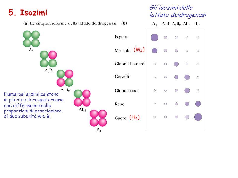 5. Isozimi Gli isozimi della lattato deidrogenasi Numerosi enzimi esistono in più strutture quaternarie che differiscono nelle proporzioni di associaz