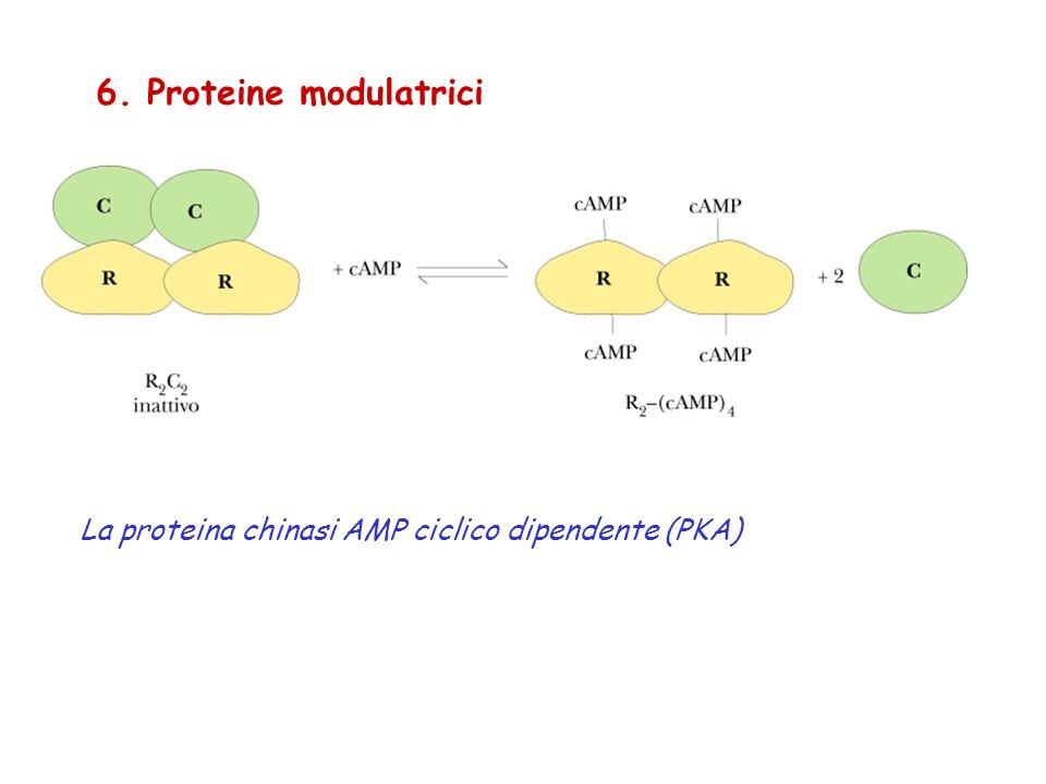 6. Proteine modulatrici La proteina chinasi AMP ciclico dipendente (PKA)