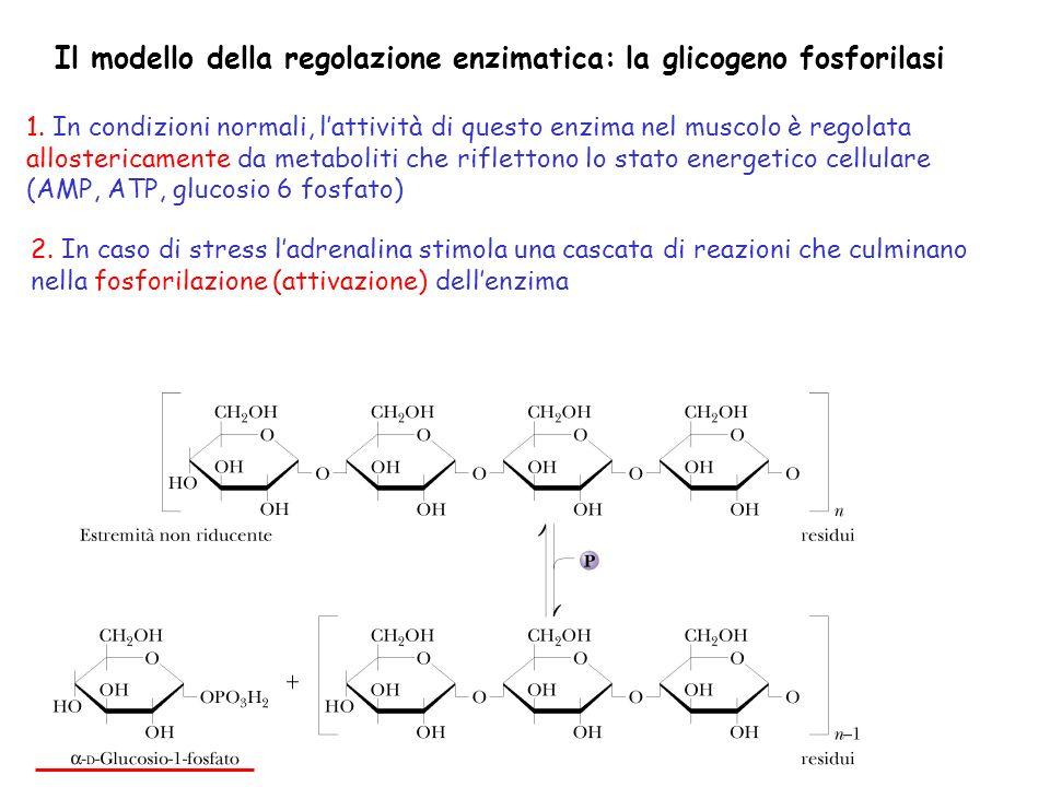 Il modello della regolazione enzimatica: la glicogeno fosforilasi 1. In condizioni normali, lattività di questo enzima nel muscolo è regolata alloster