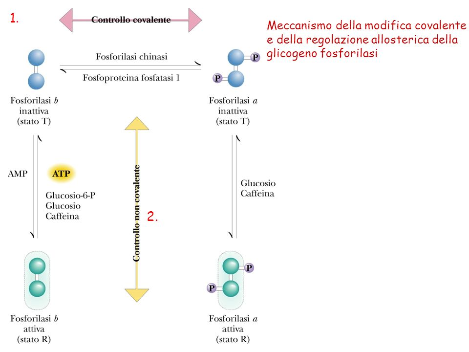 Meccanismo della modifica covalente e della regolazione allosterica della glicogeno fosforilasi 1. 2.
