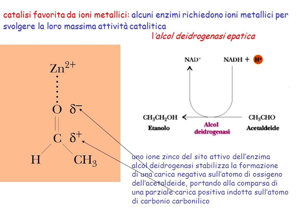 catalisi favorita da ioni metallici: alcuni enzimi richiedono ioni metallici per svolgere la loro massima attività catalitica lalcol deidrogenasi epat