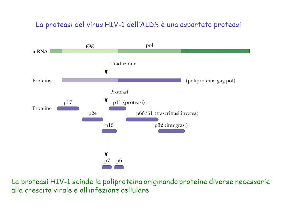La proteasi del virus HIV-1 dellAIDS è una aspartato proteasi La proteasi HIV-1 scinde la poliproteina originando proteine diverse necessarie alla cre