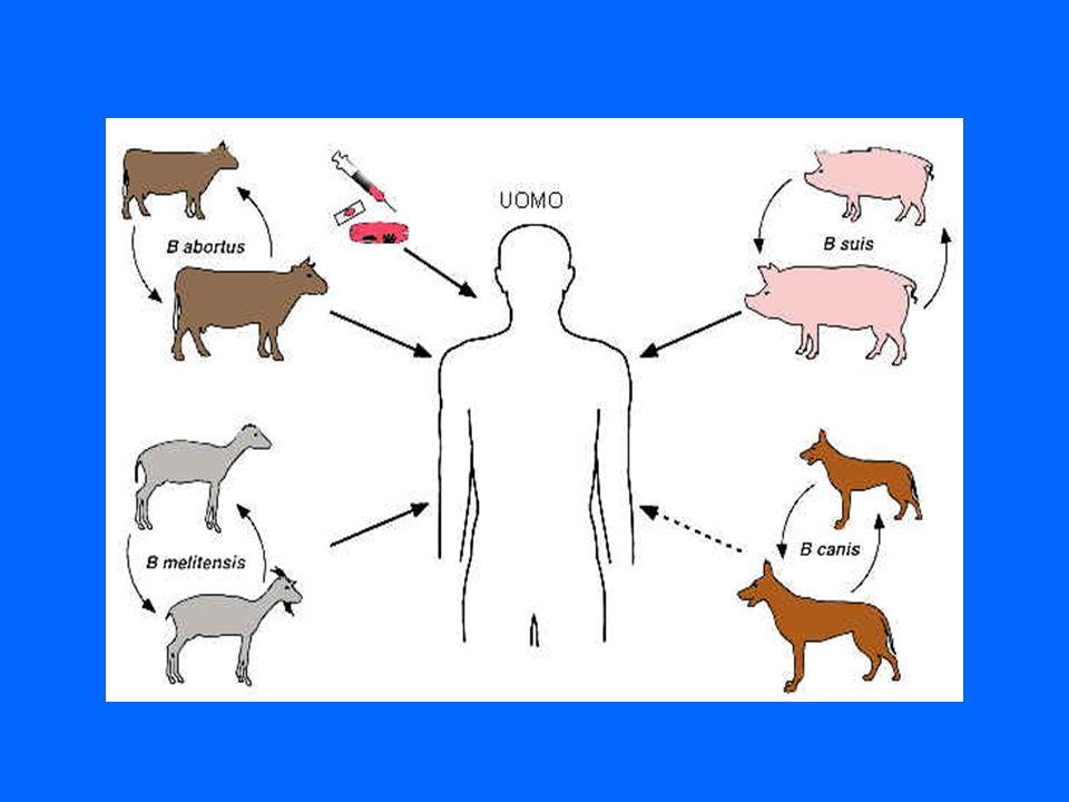 B. melitensis infetta ovini e caprini ed è fortemente patogena per luomo