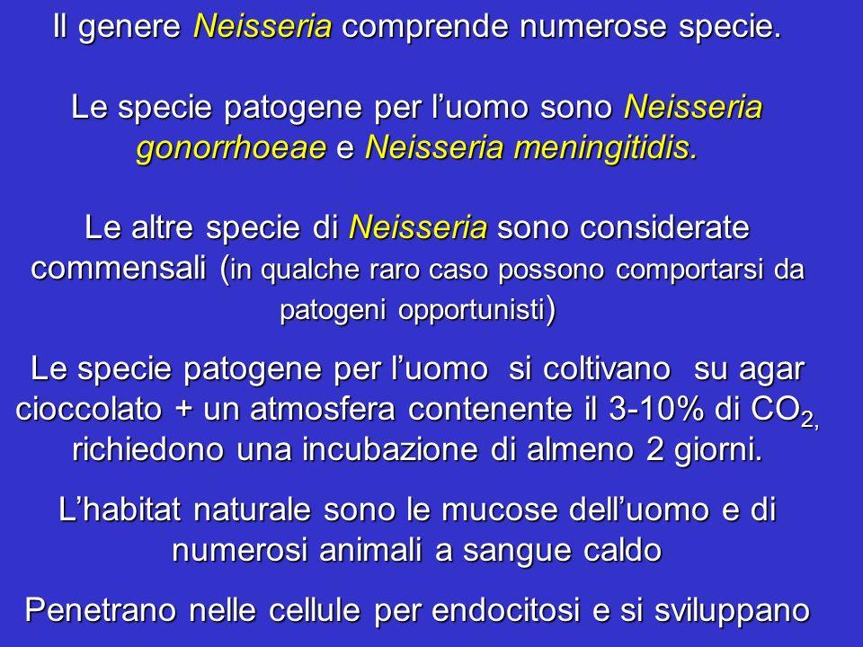 Il genere Neisseria comprende numerose specie. Le specie patogene per luomo sono Neisseria gonorrhoeae e Neisseria meningitidis. Le altre specie di Ne