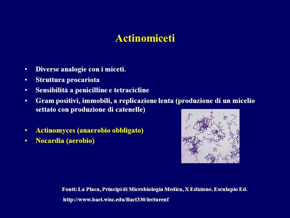 Actinomiceti Diverse analogie con i miceti. Struttura procariota Sensibilità a penicilline e tetracicline Gram positivi, immobili, a replicazione lent