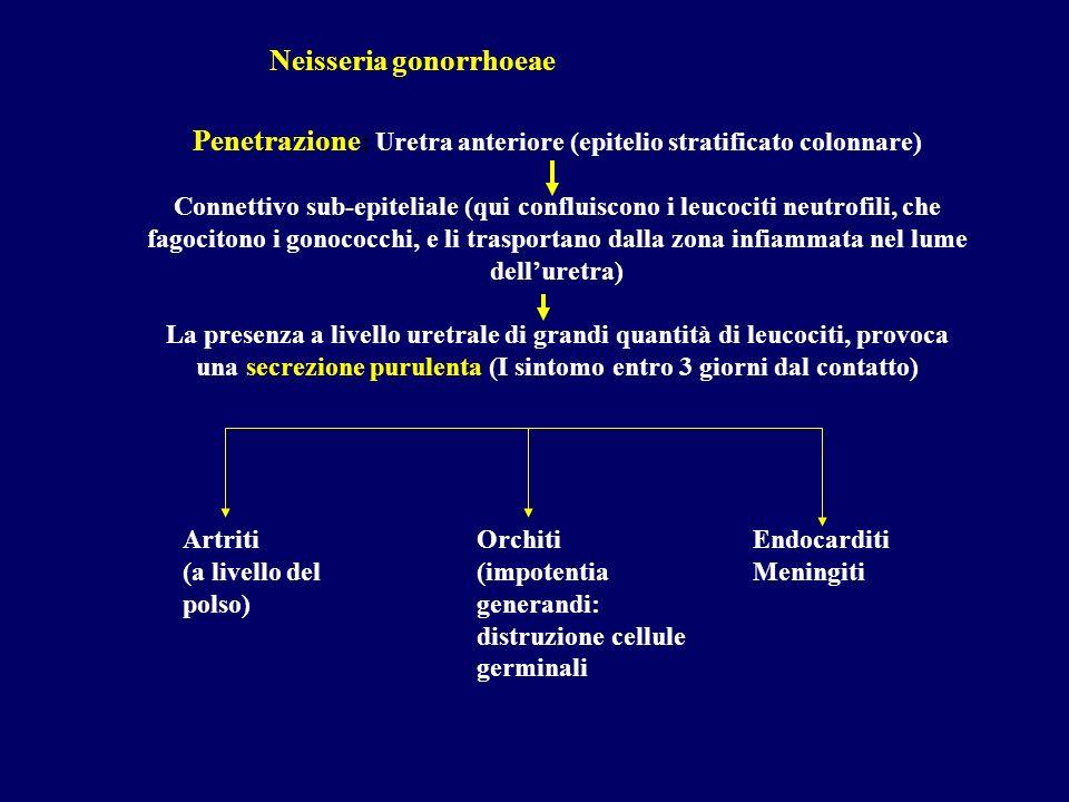 Penetrazione: Uretra anteriore (epitelio stratificato colonnare) Connettivo sub-epiteliale (qui confluiscono i leucociti neutrofili, che fagocitono i