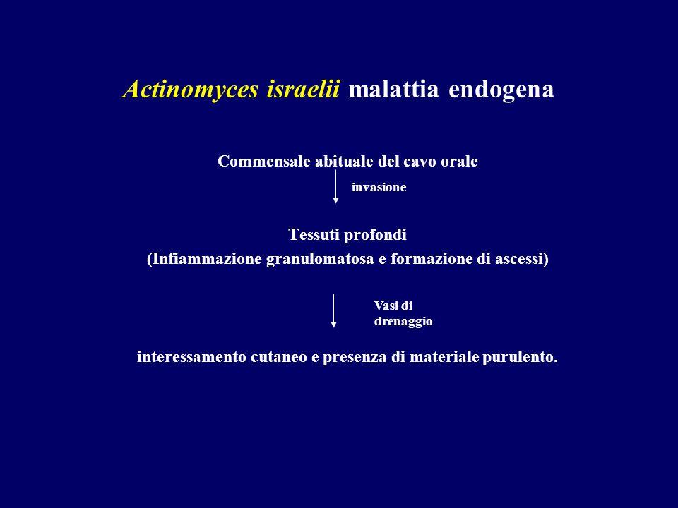 Actinomyces israelii malattia endogena Commensale abituale del cavo orale Tessuti profondi (Infiammazione granulomatosa e formazione di ascessi) inter